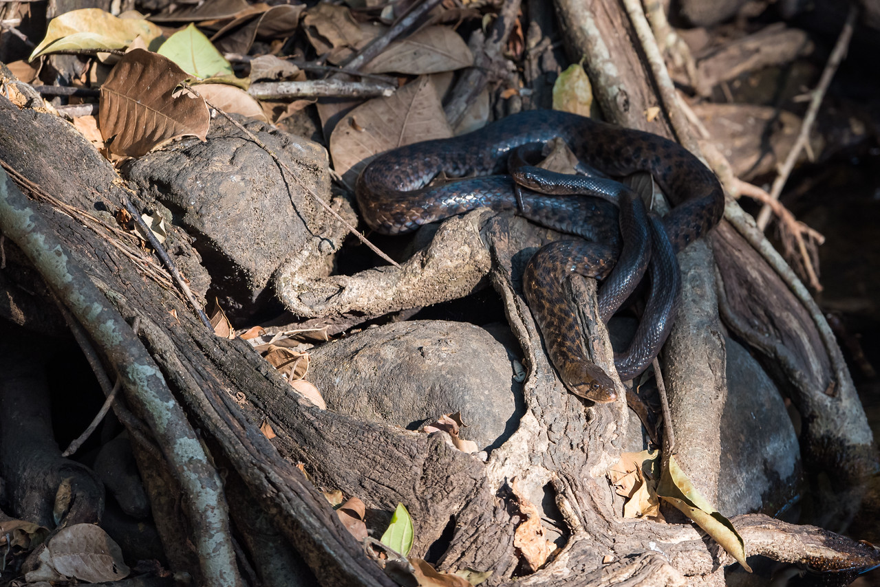 Chequered Keelback mating