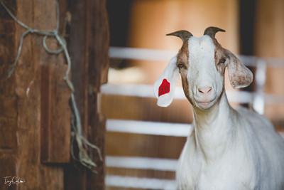 goatday-3