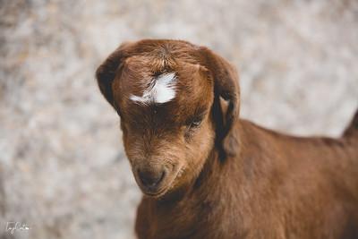 goatday-11