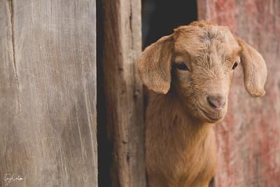 goatday-1