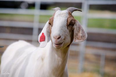 goatday-17