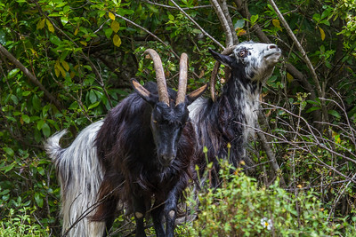 Goat - Ged