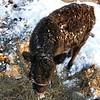 Ice On The Calf