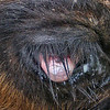 A Closer Look at what is Wrong With The Eye of the Calf