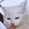 The White Kitten with its Two Colored Eyes, another view.