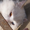 The White Kitten with its Two Colored Eyes.