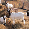 """9-1-- """"Processed Image"""" of the Donkey on a Goat."""