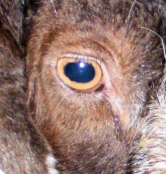 """A Billy Goats Eye Looks Like An """"O""""."""