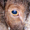 "A Billy Goats Eye Looks Like An ""O""."