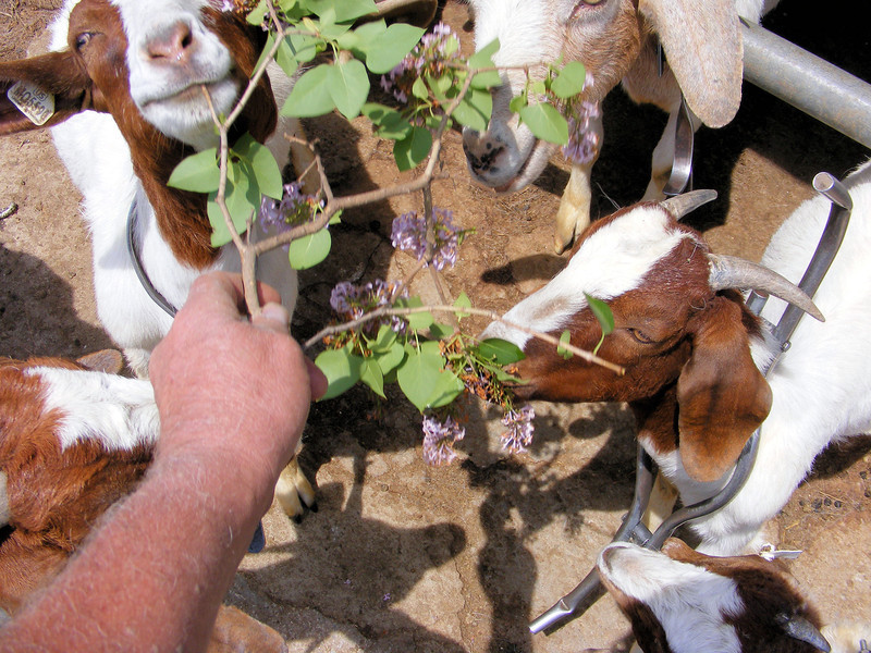 "The Goats Say, ""Give Me Flowers""."