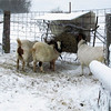 The Only Feeder the Goats Will Eat At Today.