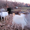 More Ghostly Goats