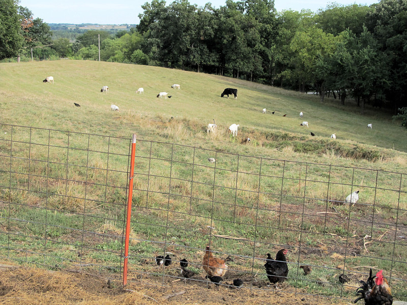 Chickens Out with the Goat Herd in the Pasture.