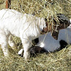Nibbling the Hay Over the Cat