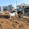 A Bigger Goat Herd.