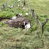 7--  The Sheep Were Braver.