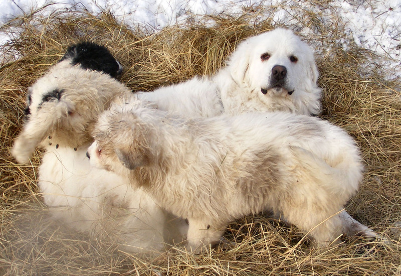 "We Get A Big ""Great Pyrenees"" Smile From Big Guy."
