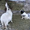 Goat Food