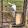 Dog Doors Between Pastures.
