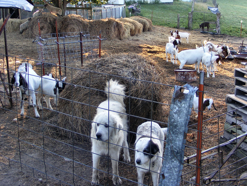 Up and At It,  Dogs, Goats, Sheep and Calf.  Domestic Animals – Piece of Cake