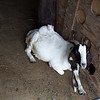 Getting the Adult Goats to Act As a Bed
