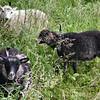 """""""Three Objects"""" called Shetland Sheep"""