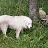 """""""Three Objects"""" called a Great Pyrenees and two Shetland Sheep"""