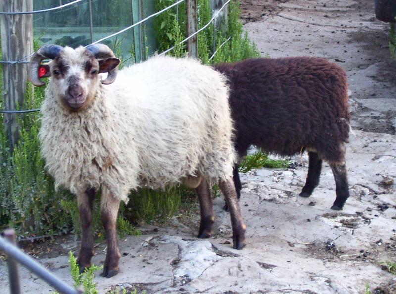 Two of Marks Shetland Sheep Rams
