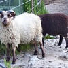 Two of Marks Shetland Sheep Rams