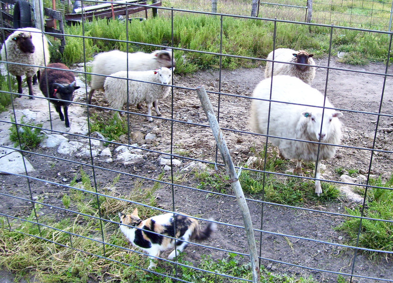 Fluffy Eyeing the Flock