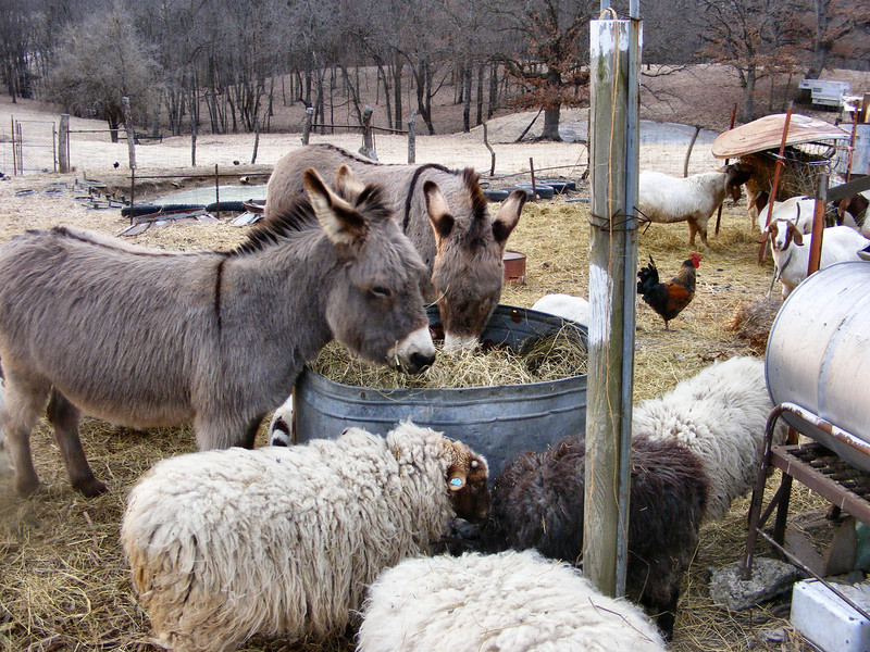 The Donkeys are Almost Getting Along Now.