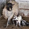 Some More Little Shetland Sheep.