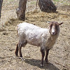 The Tiny Shetland Sheep.