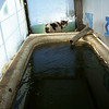 "(5 of 10) Solar Stock Tank Inside Frosted<br /> Several years ago I enclosed an old bathtub in glass to make a solar stock tank for the goats to have water that's not to hard to drink in the winter time. The back of the barn is facing to the South-east so it catches the sun from the time it comes up to when it goes down. It can be 0°F and by 9 or 10 o'clock it will be thawing around the edges inside. I do have to chop out some ice but then it will keep it open so they can drink. When it is cloudy for a week at a time it don't work to well but when the sun shines it is great, You've heard of ""a bull in a china closet"", Well a Billy in a glass house is about as bad. That is why I have the cattle panel out from the glass side, to keep the Billie's away from the glass, The end is from a bank window, about 1 ¼"" thick, they can't hurt that. The glass I had was longer than the tub so I put wool at the end that the cats go in to lie on and warm up in the sun shine. The pipe going in is in line with the pump on the South-west side of the barn, I use that to keep it full. The snow on top will pretty well melt off in 1 or 2 days of sunshine"
