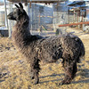 "Frosty ""Weather"" Puts Frost on the Back of Dolly Llama."