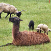One of the Lambs Found the Llama.