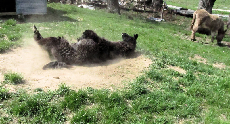 Dolly Llama Rolling on the Floor Laughing