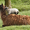 I Sure Think You Are a Big Wooly Sheep.