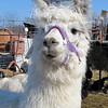 Another Regal Llama.