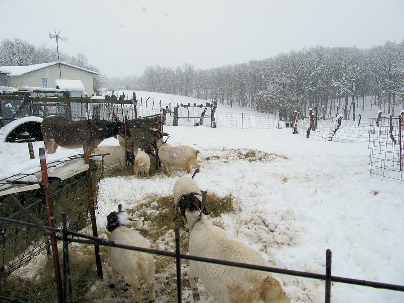 The Goats Are Back To Wading Snow.