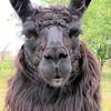 Dolly Llama DOF