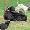 """The Calf Says """"Get Off of There, Kid""""."""