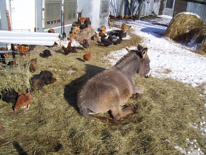 Rolling in the hay with the chickens