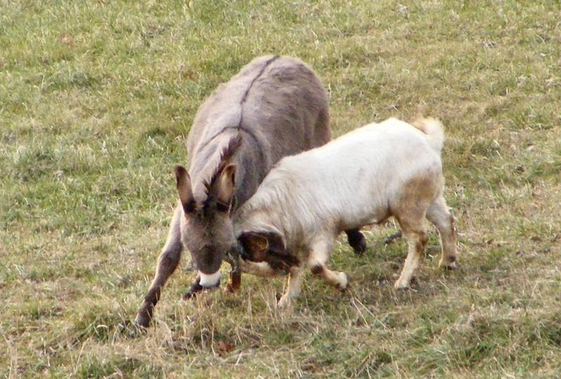 The Donkey still having a go at Long John Billy