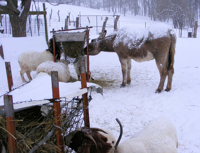 "I Wonder If the Donkey and Other Animals Are Pleased with Their New ""Winter"" Coat."