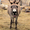 "Another ""Horse Laugh"" from a Donkey."