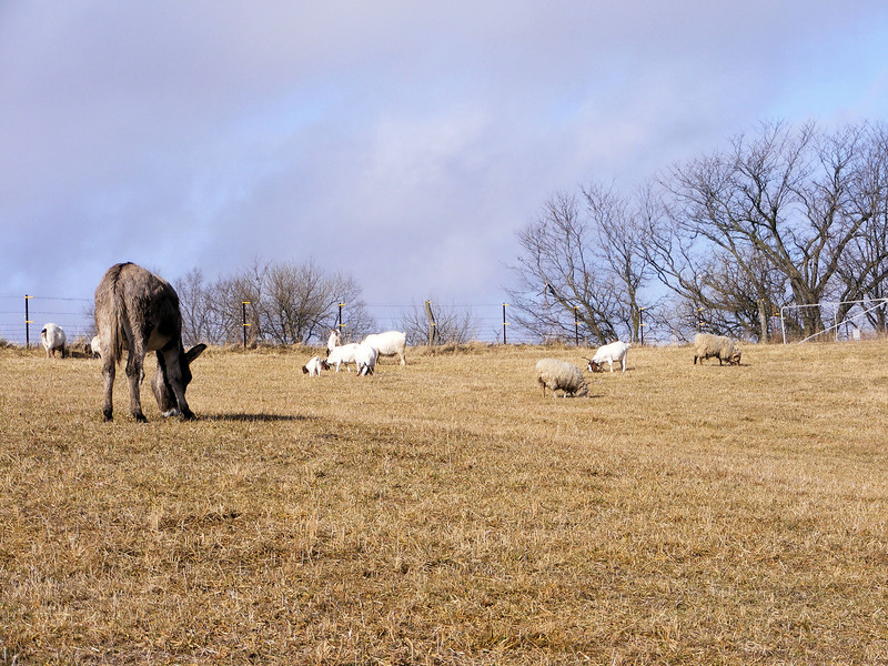 Peacefully Grazing in the Cold Dry Grass.