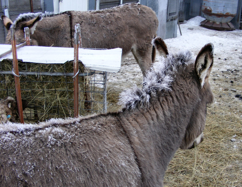 Frost On The Donkey