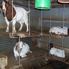 New chains on the goats bunk beds.