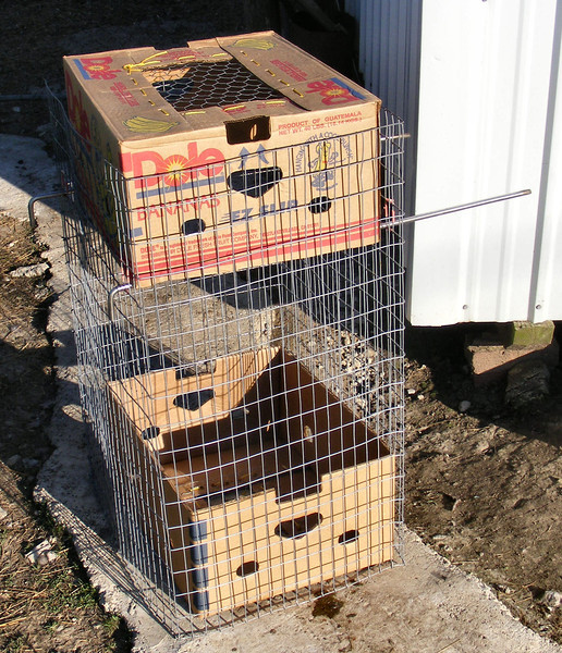 (1 of 3) An Easy Way to Put Multiple Chickens in a Box.